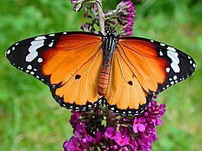 Afrikanischer Monarch Danaus (Anosia) chrysippus Plain Tiger Schmetterlinge und Raupen Südeuropas Griechenland Italien Südfrankreich Spanien Portugal Korsika Sardinien Kroatien Schmetterling