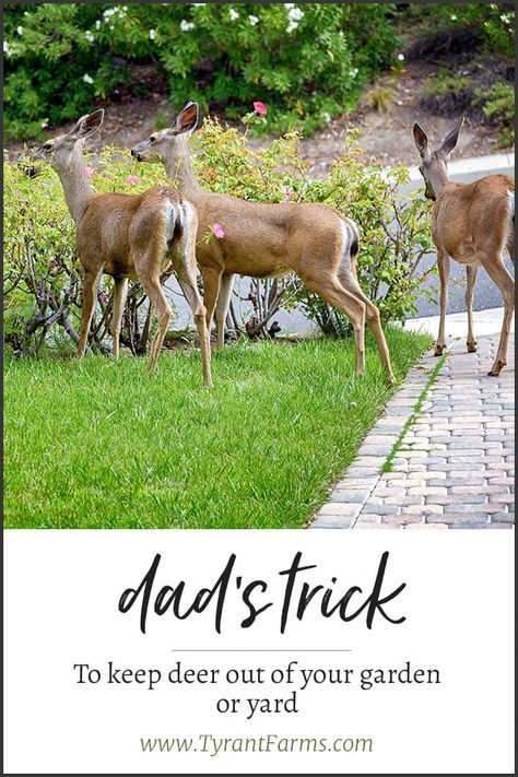 Dad S Trick To Keep Deer Out Of Your Yard And Garden Deer Diy