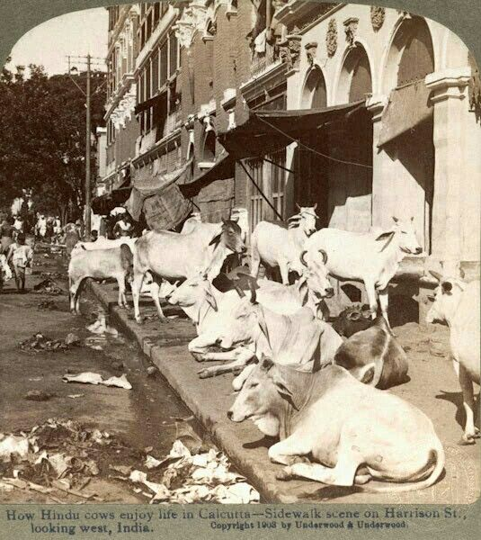 How sacred cows enjoyed their lives in old Calcutta. A scene of Harrison Street. Early 1900c.