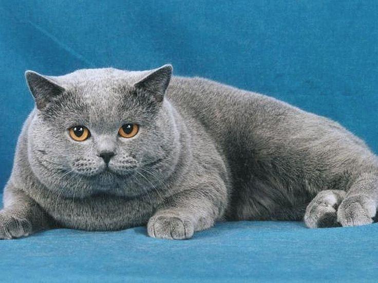 Cute Russian Blue Cat Names