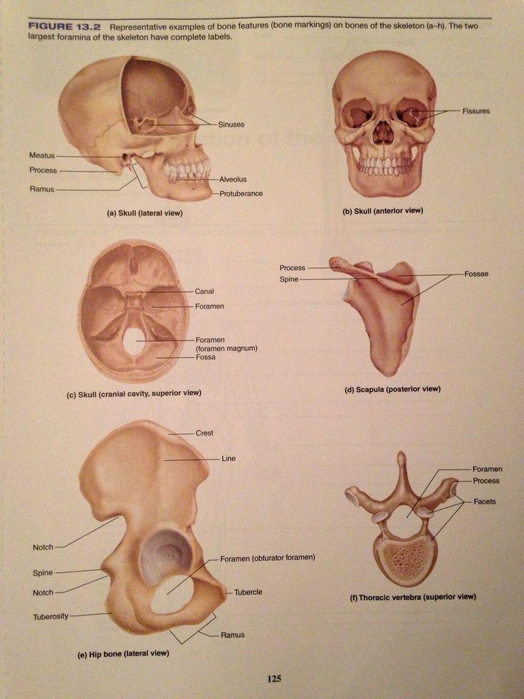 25+ best A&P Bone Practical videos images on Pinterest | Anatomy ...