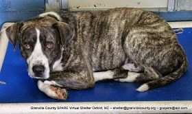Oxford NC: Maximus the Dog NEEDS HELP NOW! Over $300 in sponsorship! ABANDONED BY OWNER IN RURAL NC SHELTER!! RED LIGHT URGENT!! **SPONSORED!!!**