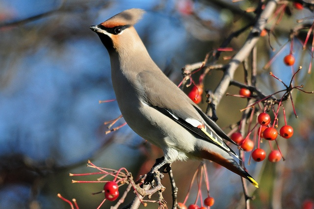 A waxwing we saw in Oxford by moth clark62, via Flickr