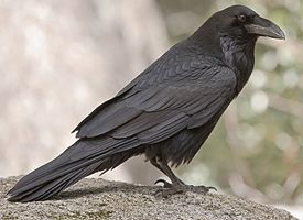 Common Raven: Mystical. Smart. Larger than a Crow and much less common but if you see one or two, you won't forget it.