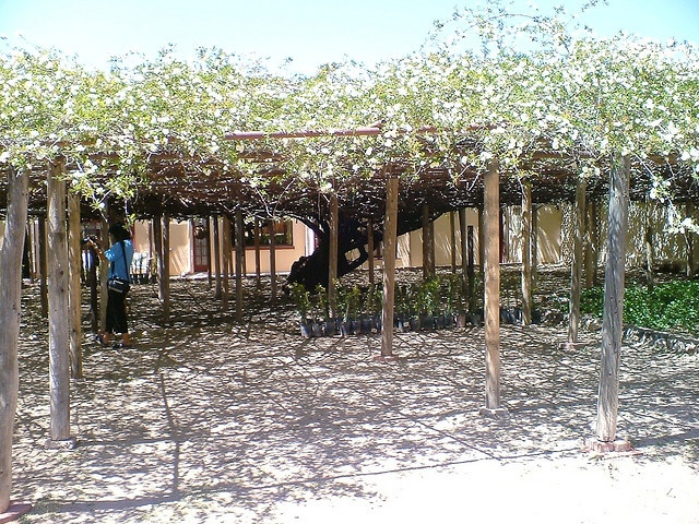 This is a rose bush, a hundred or so years old in Tombstone Arizona.  We didnt go into this area to see it but saw it from outside.