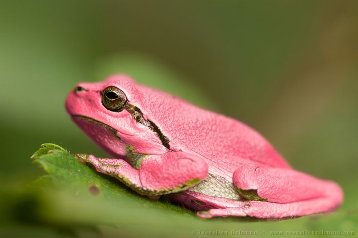 Two parents with a latent pink gene are needed, to create a pink baby grasshopper. Description from roeselienraimond.com. I searched for this on bing.com/images