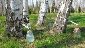 Mesteacanul este denumit si arborele vietii iar seva de mesteacan proaspata este un adevarat elixir pt sanatate, concentreaza toate substantele nutritive necesare cresterii arborelui: glucoza si fructoza care ii confera un gust usor dulceag, aminoacizi, viatmina C, minerale(magneziu, calciu, zinc, fosfor, sodiu, fier), acestia se afla in proportii optime si se asimileaza cu usurinta in organism.