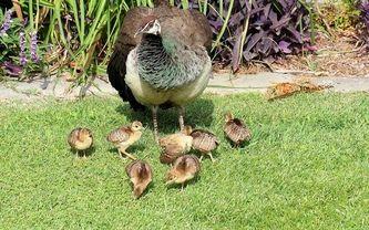 павлин, трава, газон, птицы, малыши, цыплята
