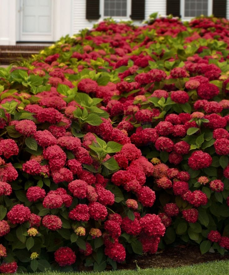 Red sensation hydrangeas my very favorite bush!!! But I prefer the country colors of pinlk and blue!