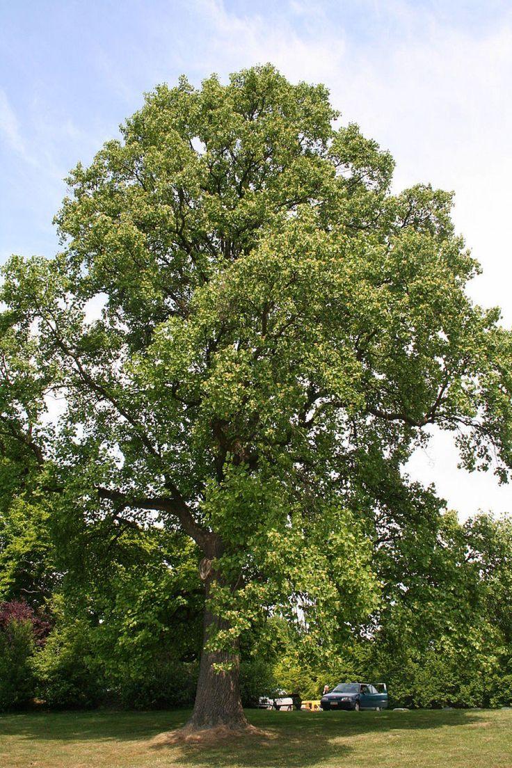 best 25 poplar tree ideas on pinterest birch forest white