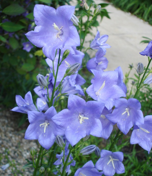 more beautiful bluebells