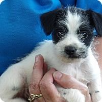 Adopt A Pet :: Brutus (3 lb) Video - Niagara Falls, NY