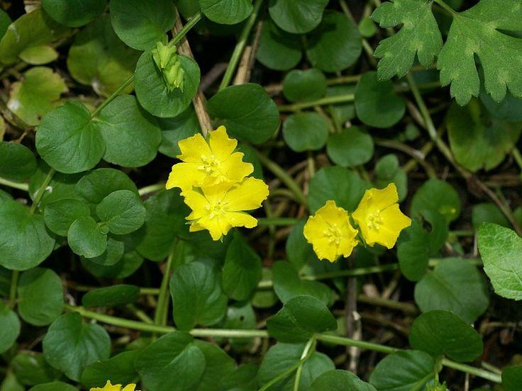 Lysimaque nummulaire - Monnoyère - Lysimachia nummularia - Herbe aux écus - Creeping Jenny