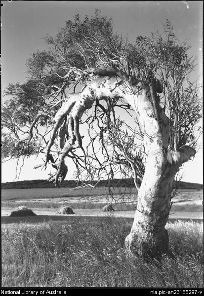 Tree bent by the wind. Geraldton, Western Australia.