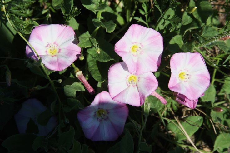 Pink bindweed.   (Convolvulus)  In the field across from Ihop on 164th, Vancouver, WA.  07/2013.