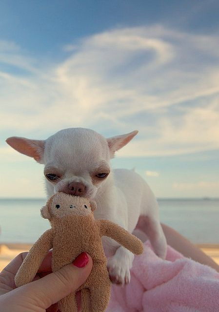 Aren't chihuahua puppies look adorable and funny all the time? Follow us for you… – Mopsliebe/Hunde