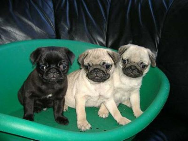 pug puppies for sale in az 17 best ideas about pug puppies for sale on pinterest 5565