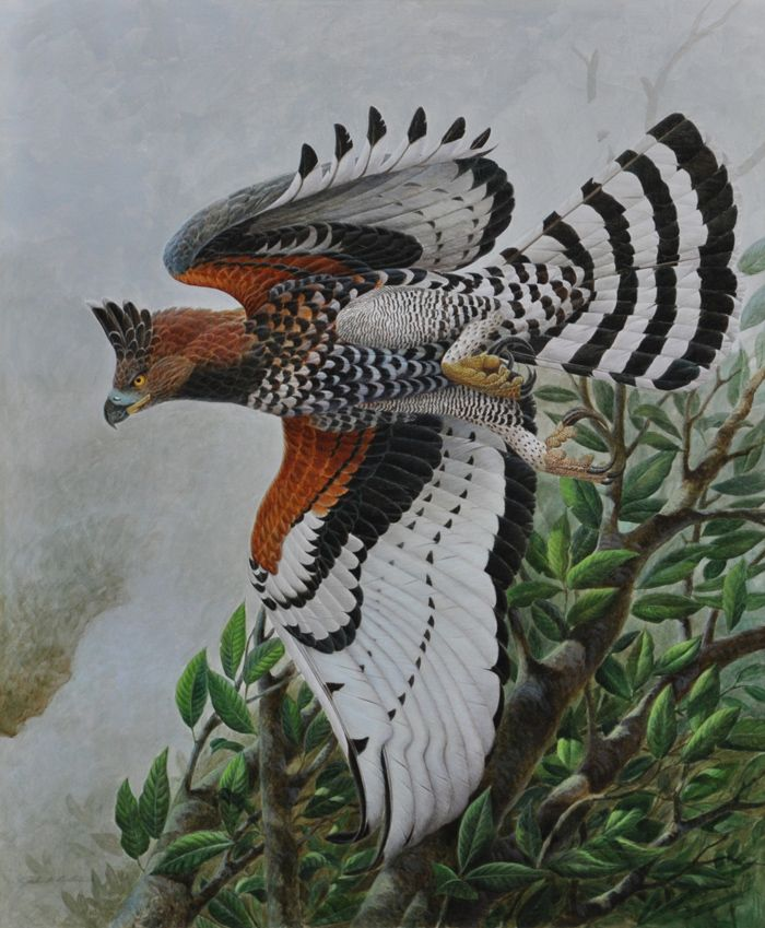 """The African Crowned Eagle """"The Leopard in the Sky"""", John Ruthven"""