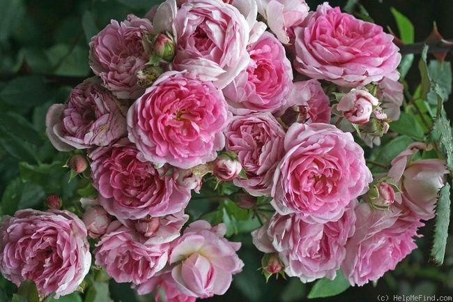 872 best rozen images on pinterest beautiful roses. Black Bedroom Furniture Sets. Home Design Ideas