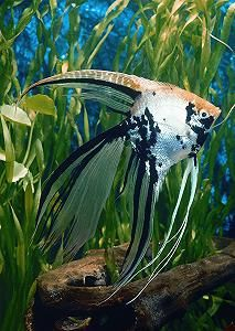 Freshwater angelfish--marble veiltail