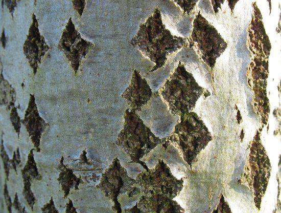 Young poplar tree bark