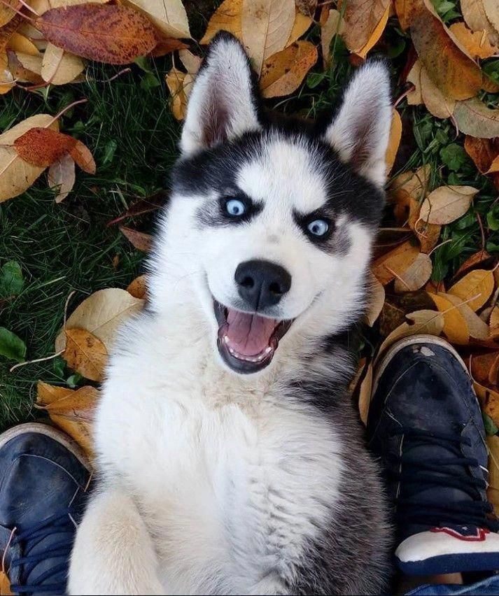 More About Playful Siberian Huskies And Kids Siberianhuskylover