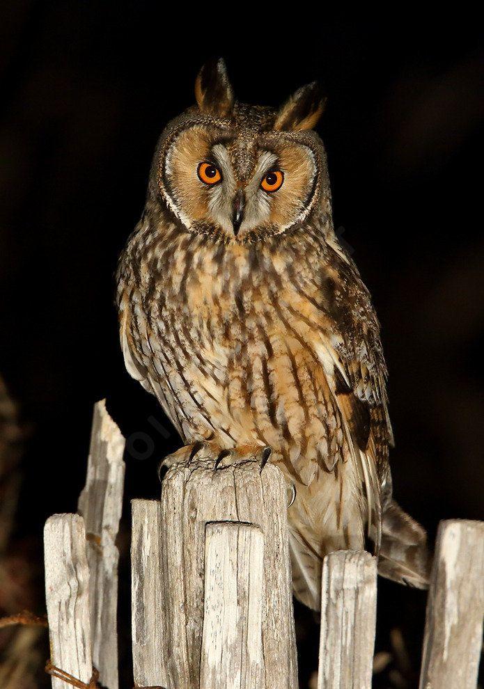 Hibou moyen-duc  Long eared owl