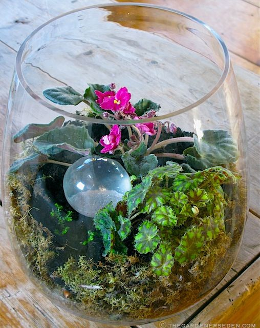 A terrarium-bowl filled with Begonia 'Kit Kat', Saintpaulia, (African violet), Selaginella kraussiana, (Club moss), and a sparkle-ball accent.