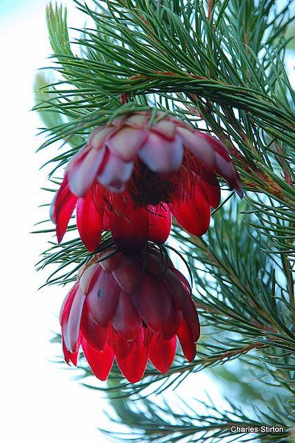 Nodding cups Protea, South Africa