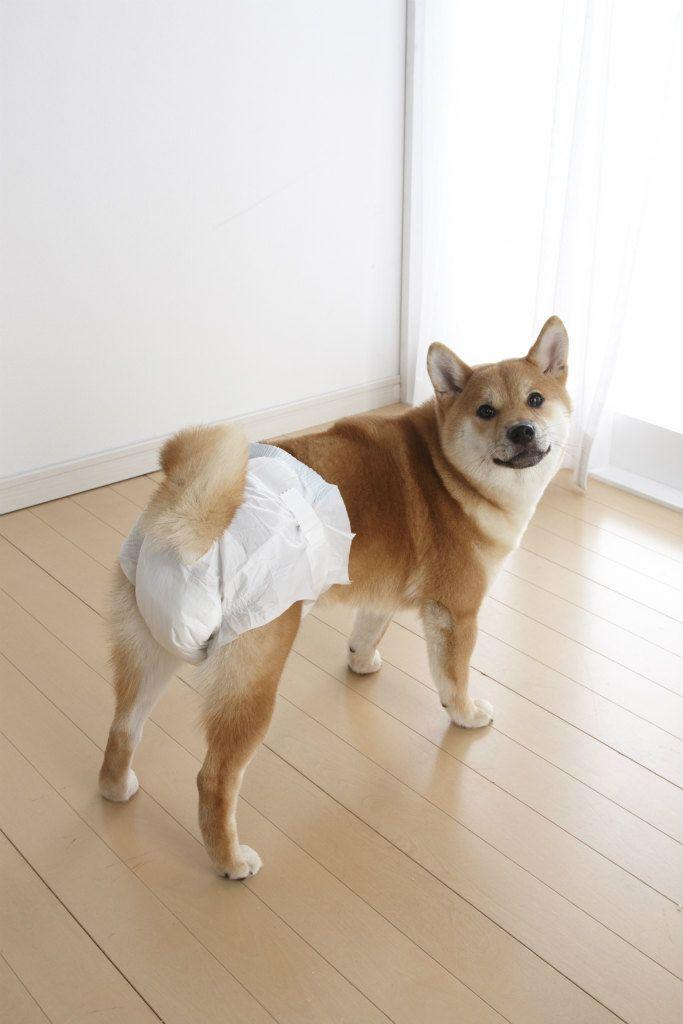 大阪の工務店で看板犬をしている柴犬の「ゆめ」です。おむつ姿も可愛いやろ?  shiba inu