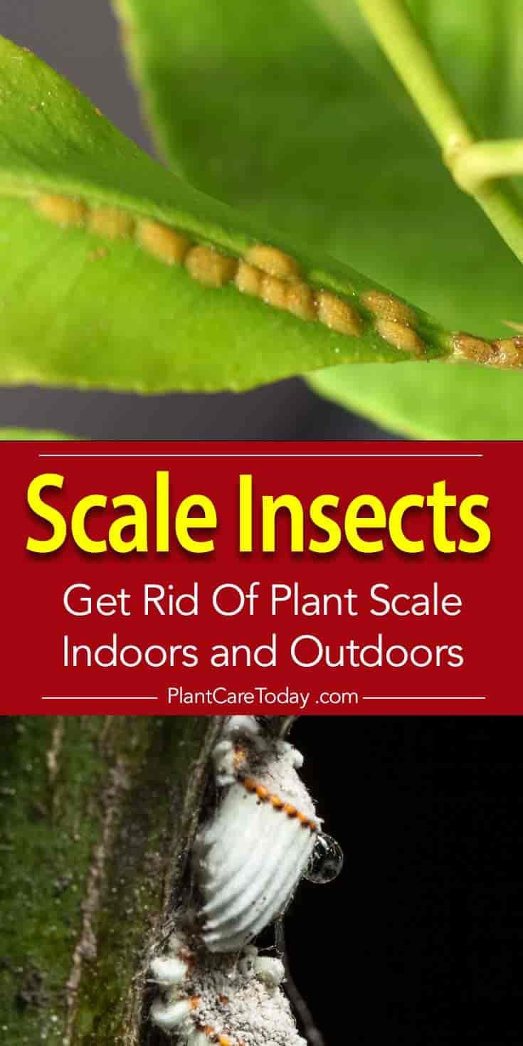 Plant Scale Insects Come Equipped With Piercing Ing Mouthparts And Insert Its Two Hollow Stylets Like Anchors Into The Tissue S Out