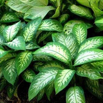Plantas de interior la Difenbaquia1