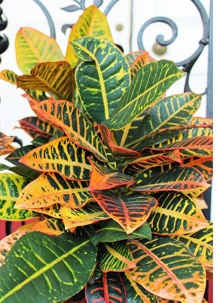 Crotons Need A Very Brightly Lit Location So That They