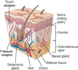 Layers of dermis, subcutaneous tissue