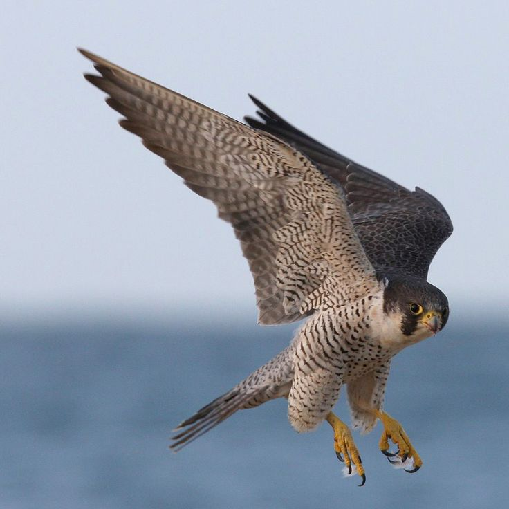 the peregrine falcon essay Interesting facts about peregrine falcons, which people may find disturbing, but also fascinating, with photos  the papers of william f cody discover scholarship.