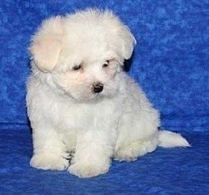 Very Social Maltese Puppies for Adoption FOR SALE ADOPTION from Canterbury Canterbury  @ Adpost.com Classifieds > New Zealand > #33470 Very Social Maltese Puppies for Adoption FOR SALE ADOPTION from Canterbury Canterbury ,free,classified ad,classified ads