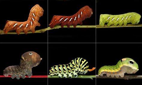 """Arriba: tres colores de  Eumorpha achemon. Abajo: tres variedades de la oruga  """"swallowtail"""". Foto: Samuel Jaffe"""