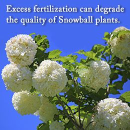 Tip to care for Snowball plants
