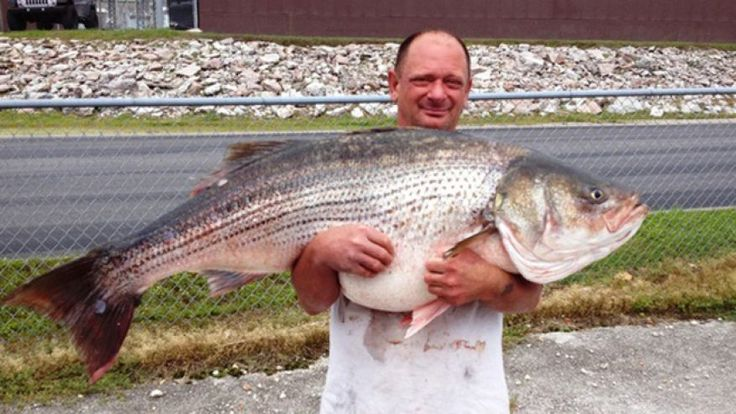 Massive striped bass caught in Missouri sets state record (05/27/2015 - Fox News) OMG...largest striped bass ever recorded on a pole and line in state with fish weighing... on 20 pound test line!!! ...congrats Lawrence!! Must have been a blast getting this baby in!!