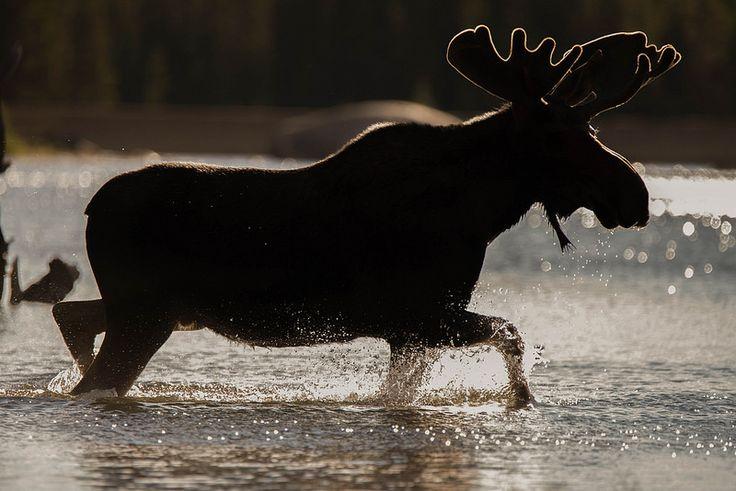 Bull Moose Silhouette | Website: gradymcginnisphotography.co… | Flickr