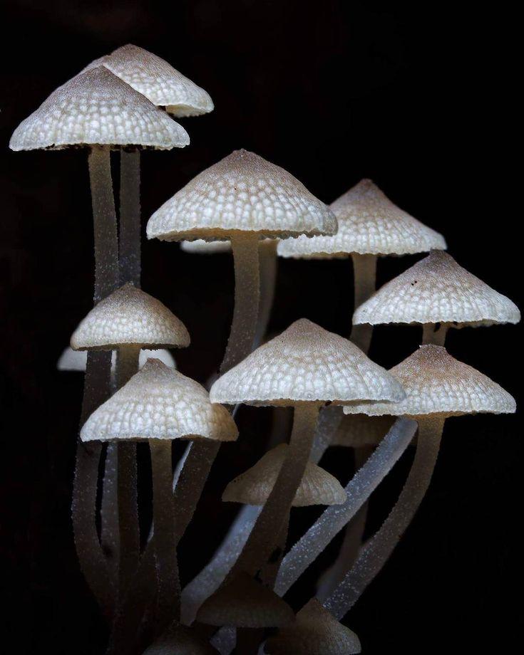 my camera wasn't very happy today #fungi #mycology #mushroom #ilovegympieregion #queensland #fungimap #fungiaffair #nature #wildlife #forest #mushroomsociety #mushroomporn #queensland #australia #fungiphotography #fantasticfungi #canonaustralia #photography #pocket_macro