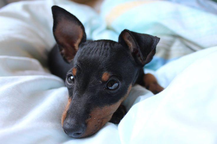 Theia English Toy Terrier | Pawshake