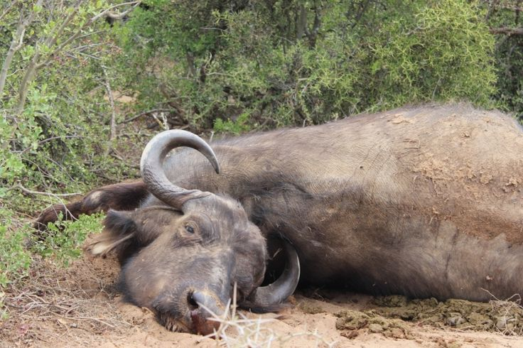 Female buffalo recently hunted by lion at Addo Park