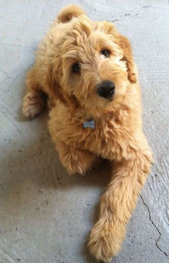 Image Result For Mini Goldendoodle Puppy Haircut Effie
