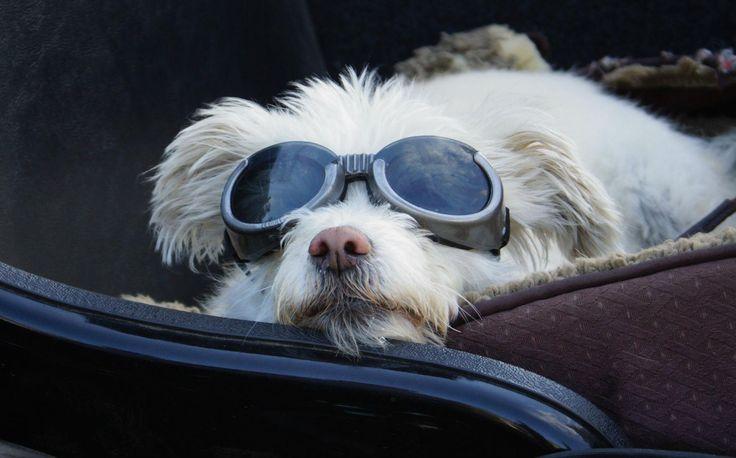 """Due giovani filmakers del Montana, Eric e Geneva Ristau hanno dedicato loro un film """"Sit Stay Ride: The Story of America's Sidecar Dogs"""". Sono Mastini, Chihuahua, Labrador, Beagle e meticci,i cani da sidecar, una versione particolare del mito americano """"on the road"""""""