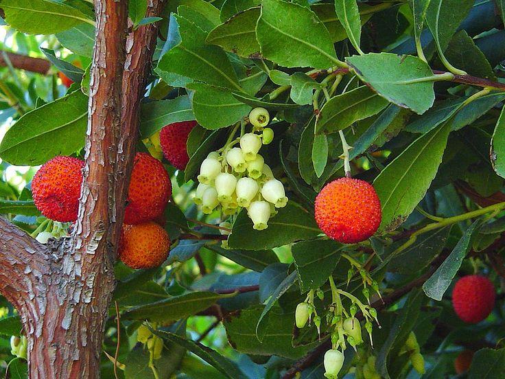 H κουμαριά ή Άρβουτος η κοινή είναι ένας από τους βασικούς θάμνους της μεσογειακής μακίας Στη χώρα μας συναντώνται δύο είδη: η Kουμαριά – Arbutus unedo και η Aγριοκουμαριά ή Eλαφοκουμαριά – Arbutus andrachne. Aνήκουν στην οικογένεια Ericaceae, (Eρικίδες) στην οποία υπάγονται τα ρείκια και άλλα συγγενή φυτά. Eίναι θάμνος...