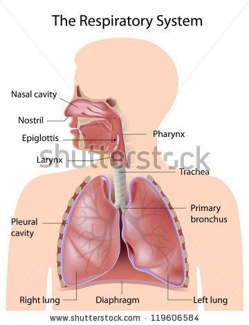 15 best respiratory system images on pinterest respiratory respiratory system google search ccuart Choice Image