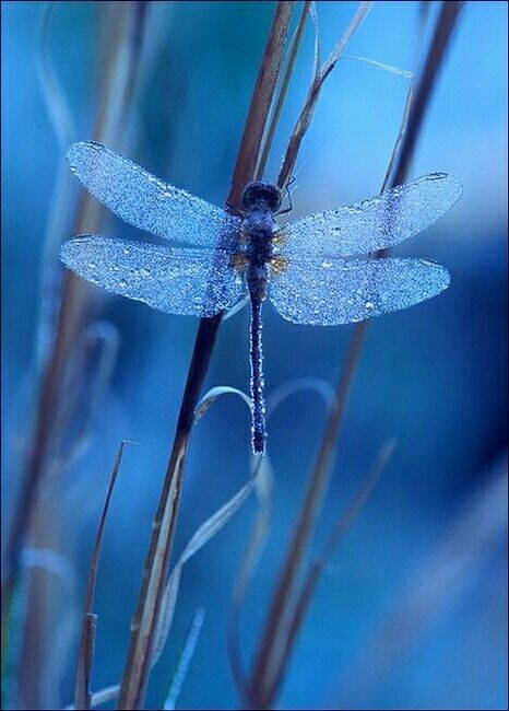 Shocking Blue Dragonfly