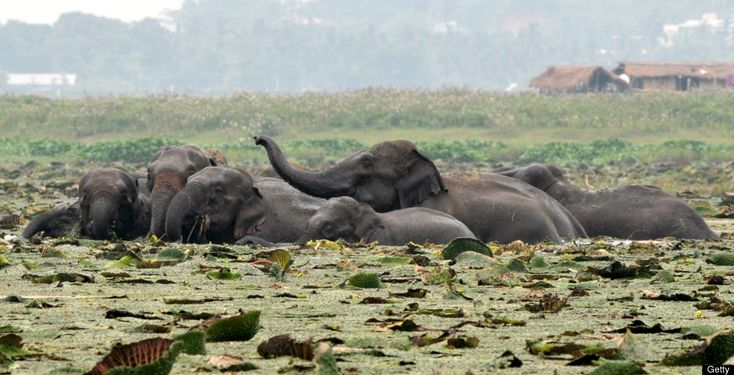 A herd of wild elephants from the nearby Rani forest reserve are seen in wetlands at Mikir village in the outskirts of Guwahati on May 19, 2012. At least 25 wild elephants were sighted foraging for food in the wetlands late May 18. AFP