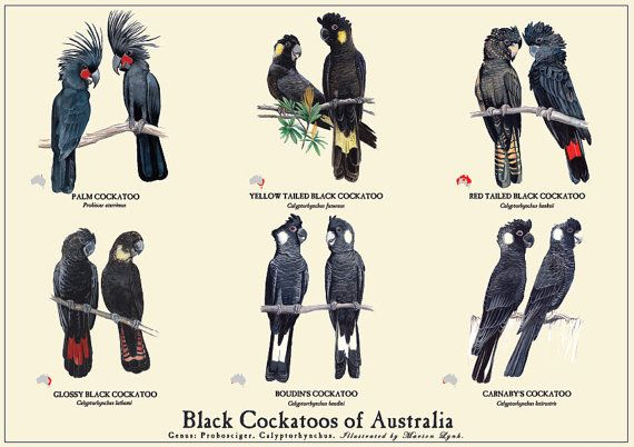 Black Cockatoos of Australia painting, Carnabys cockatoo, Baudins Cockatoo, Palm Cockatoo, Yellow tailed Black Cockatoo, Red Tailed Black Cockatoo, Glossy Black Cockatoo.  This poster of six species of Black Cockatoos found in Australia is printed on luxurious 250gsm matt stock, measuring 594mm x 420mm (A2).  The cockatoo illustrations are accompanied by their common names and Latin names, as well as a small icon indication the areas within Australia they inhabit.  This is the first in a…